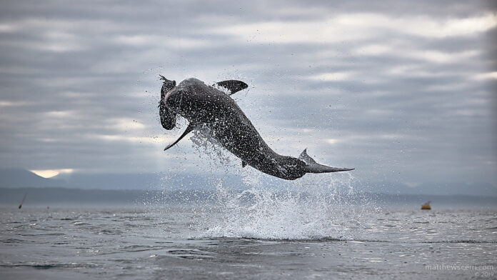 jumping sharks at seal island | south africa