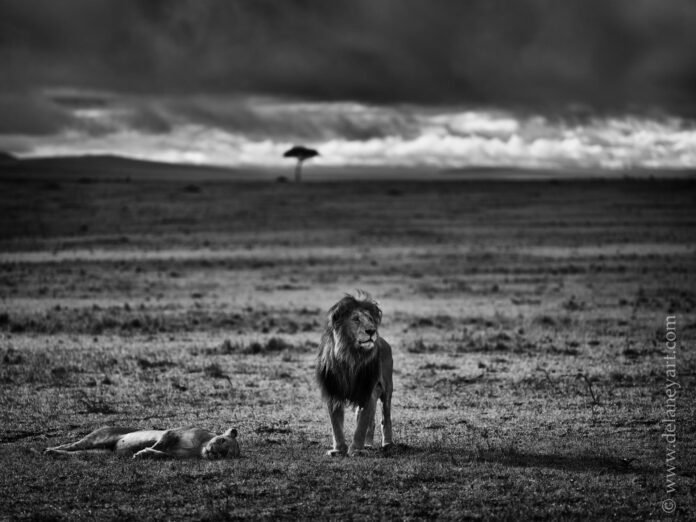 my kingdom | mating lions in the mara