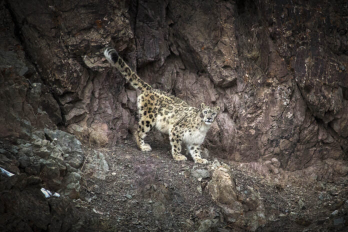 Snow leopard | Himalayas by Björn Persson