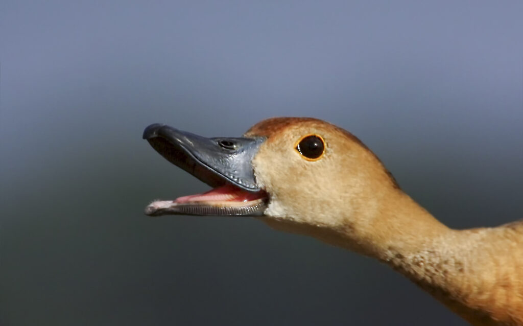 Whistling duck portrait